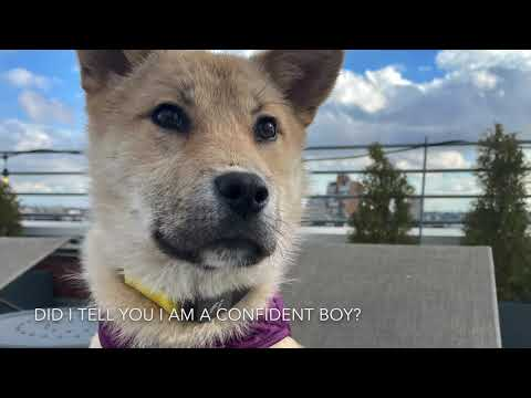 Maple, an adopted Jindo Mix in Centreville, VA_image-1