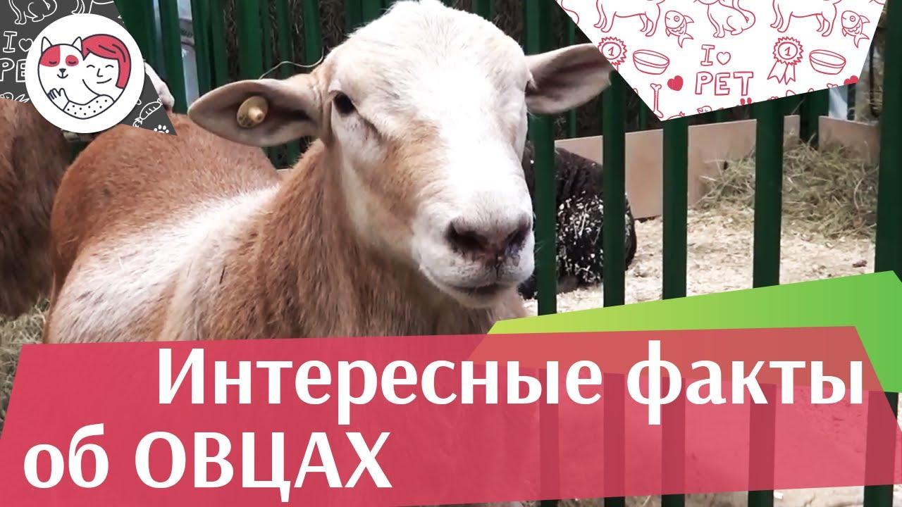5 необычных фактов об овцах на ilikepet