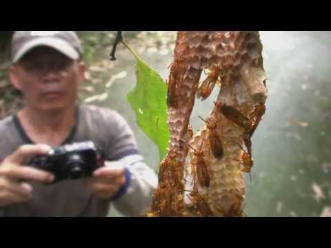 蜂臺灣-臺灣蜂類生態影片(臺語版)