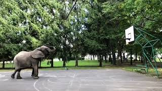 animale elefantul joaca baschet