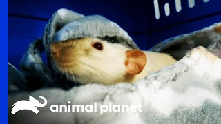 Dr. Baier Spays A Rat | Dr. Jeff: Rocky Mountain Vet by Animal Planet
