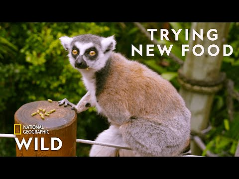 Lemurs Try New Food | Secrets of the Zoo: Down Under