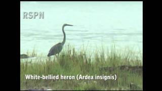 preview picture of video 'White-bellied Heron (Ardea insignis)'