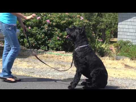 Stop Dog From Pulling :  Practice Commands