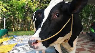 cow olx kerala - 免费在线视频最佳电影电视节目 - Viveos Net