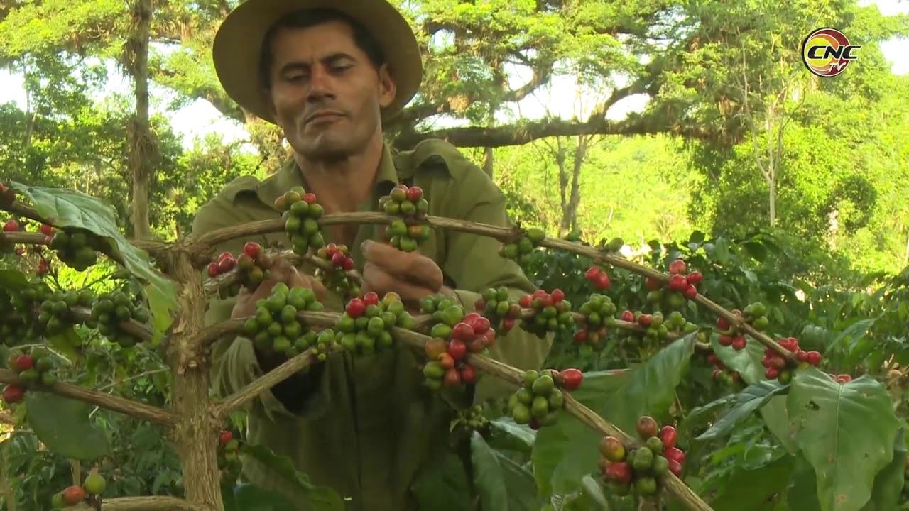 Aspira Granma superar resultados productivos en la cosecha cafetalera al cierre de 2019