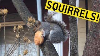 animale veverite comice