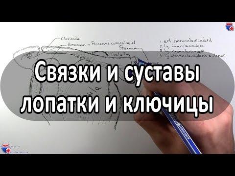 Анатомия суставов и связок лопатки, ключицы - meduniver.com
