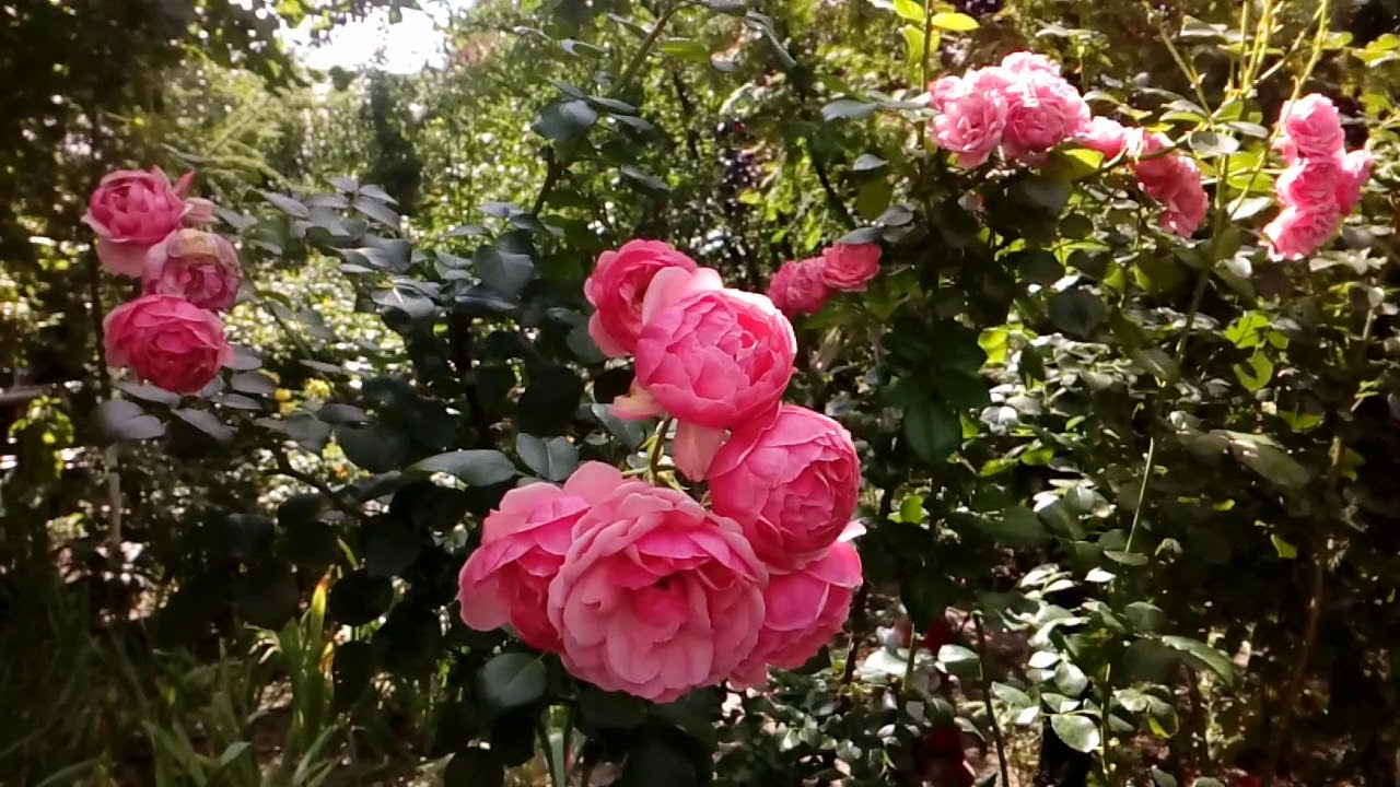 Роза флорибунда Помпонелла, сильно рослая, Кордеса. Сентябрь 2018 # мой сад # розы