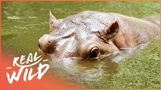 Hippos Trapped Along With A Pregnant Cow | WIld Things Shorts