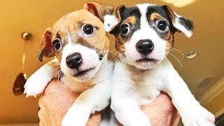 I GOT PUPPIES! - Bella And Stella The 8 Week Old Jack Russell Terriers