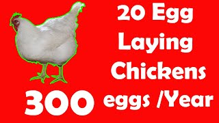 20 Best Egg Laying Chicken (Hen) Breeds | Up to 300 Eggs per year