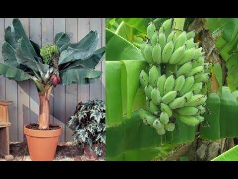 Como cultivar bananeira anã em vaso