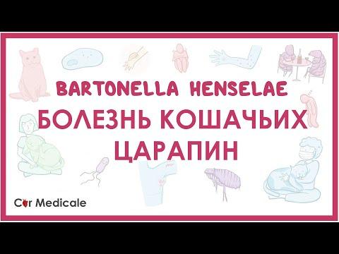 Болезнь кошачьих царапин - Бартонелла хенсели (B. henselae) -  клиника, диагностика, лечение