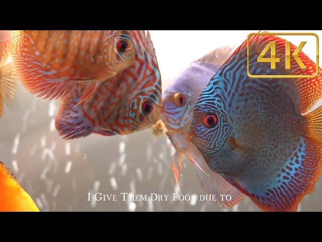 Top 3 foods for Discus Fish  (my Favorites)
