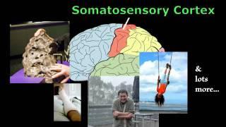 Brain - Anatomy and Function