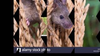 Eliminating Tree Rats How to get Rid of Rat