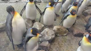 #2-13 Jan 2018 King penguin at Adventure world, Japan