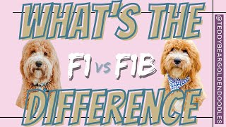 F1 Vs F1b Teddy Bear Goldendoodles - Whats The Difference?!