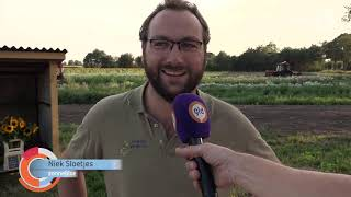 'Ultieme kringlooplandbouw' in Halle: varkens eten onverkoopbare zonnebloemen