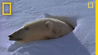Polar Bear - Motherhood