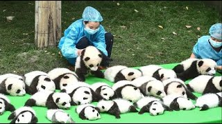 RELAX and LAUGH! Funny And Cute Panda Compilation