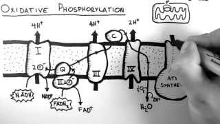 Cellular Respiration 5 - Oxidative Phosphorylation