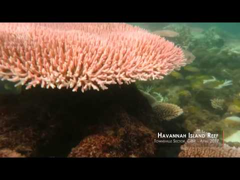This footage highlights the effect that the 2016/17 summer bleaching event had on the corals growing on the fringing reef that surrounds Havannah Island in the Palm Island Group. Corals that are brightly coloured, fluorescent and bleached white are showing symptoms of heat stress. The dull coloured corals covered in turf algae have died recently, likely due to bleaching, while there are other normal-coloured corals that appear unaffected.