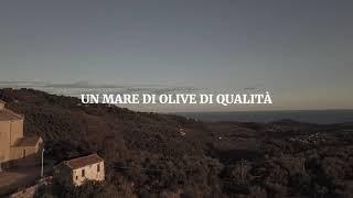 Un mare di olive di qualità in Liguria