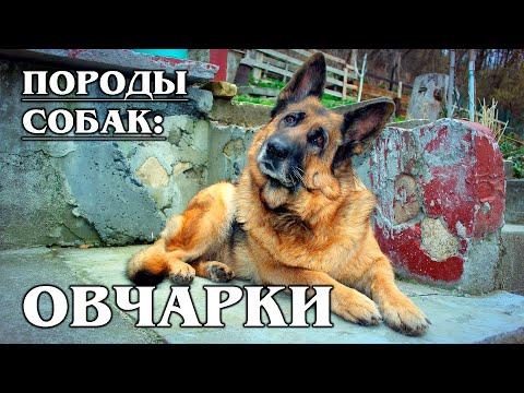 , title : 'ПОРОДЫ СОБАК: НЕМЕЦКИЕ ОВЧАРКИ   Интересные Факты про Животных и собак   АУДИОКНИГИ