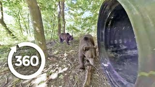 Grizzly Bears: Up Close and Personal | Project Grizzly (360 Video)