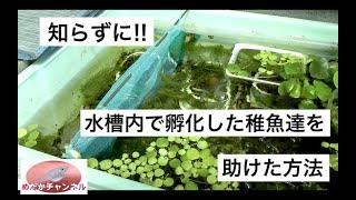 稚魚飼育メダカの採卵もれ、水槽内で知らぬ間に孵化した稚魚達を助けた方法