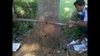 preview picture of video 'Tree falling by Rachana Nursery'