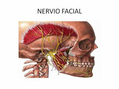 Cuales son los 12 pares de nervios craneales del sistema for 12 paredes craneales
