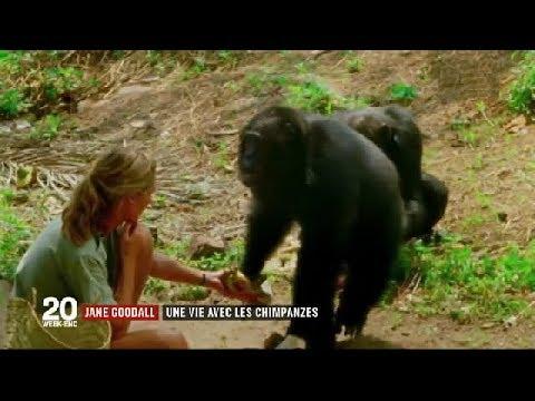 Le combat de Jane GOODALL pour les chimpanzés