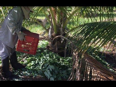 Adubação verde de coqueiro com gliricídia