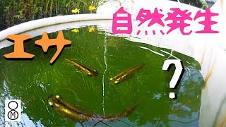 これを入れるとメダカの稚魚のエサが自然発生する???