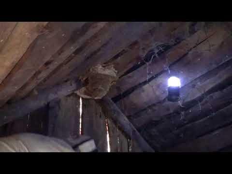 Шершни на Чердаке? Как Уничтожить Шершней Под Крышей Дома? Знаете?