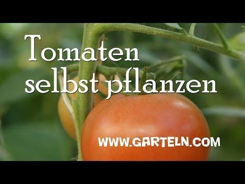 Anbau von Tomaten