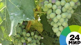 Осенняя ягода: порадует ли урожай винограда? - МИР 24