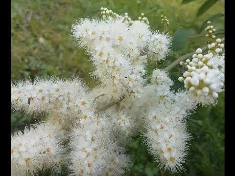 Рябина Сибирская — Sorbus sibirсa