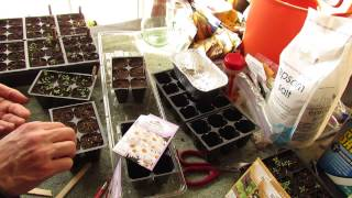 Garden Flowers: How to Seed Start Shasta Daisies Indoors: Perennial in Zones 5-9 - MFG 2014