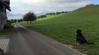 スイス発 キュスナハトの散歩道でバーニーズマウンテンドッグに会う【スイス情報.com】