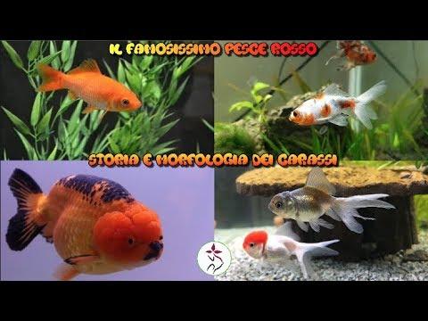 Storia e morfologia dei Carassi (pesce rosso)