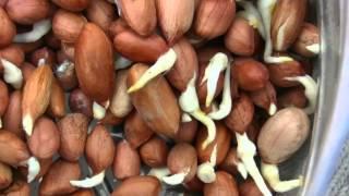 Посадка пророщенного арахиса.Часть-3