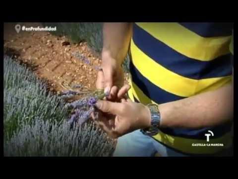 Fotograma del vídeo: Cultivo de lavanda en Brihuega