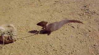 preview picture of video 'Snake and Mongoose fight'