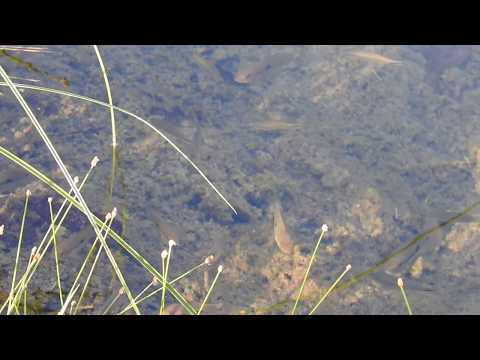 Peixes em lagoa transparente em Bonito/MS