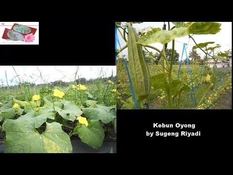 Video Budidaya Oyong ( Luffa Acutangula )