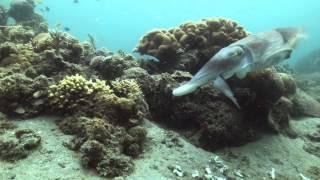 海洋王國:珊瑚礁區的居民烏賊產卵吃東西